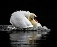 Скоростной безгласный лебедь Стоковая Фотография RF