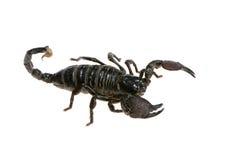 скорпион императора стоковая фотография