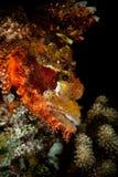 скорпион Мальдивов рыб крупного плана tasseled Стоковая Фотография RF