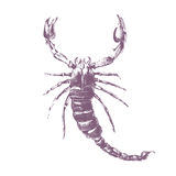 Скорпион на белой предпосылке Стоковые Изображения