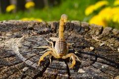 Скорпион на пне Стоковое Изображение RF