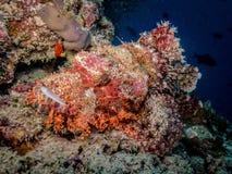Скорпион-рыбы стоковые изображения rf