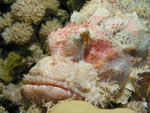 скорпион рыб головной Стоковое фото RF