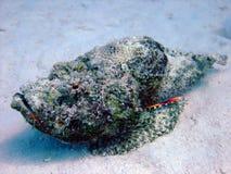 скорпион рыб дьявола Стоковая Фотография RF