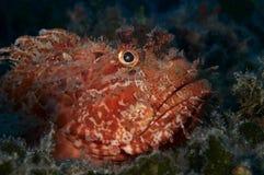 скорпион рыб пышный красный Стоковое Изображение