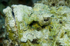 скорпион рыб стоковая фотография