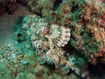 скорпион рыб Стоковые Фотографии RF