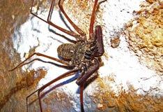 Скорпион хлыста на стене пещеры Стоковые Фото