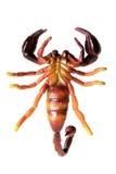 скорпион Стоковые Изображения RF