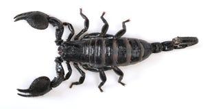 скорпион Стоковая Фотография RF