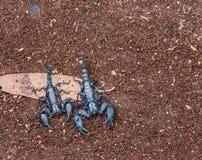 скорпион Стоковое Изображение RF