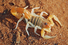 скорпион nambia пустыни Стоковое Изображение RF