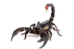 скорпион pandinus imperator emporer Стоковая Фотография RF