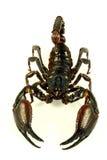 скорпион ptalamneus fulvipes стоковые фотографии rf