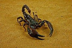 скорпион ptalamneus fulvipes стоковое фото