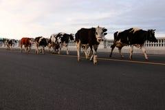 Скотины; вол; фамилия; moggy; moo-корова стоковое изображение