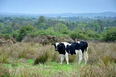 Скотины в Ирландии стоковые фото