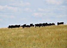 Скотины в поле травы i стоковое фото