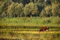 Скотины в тростниках едят траву Стоковая Фотография
