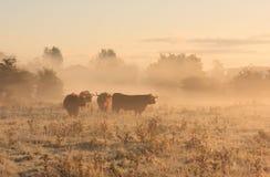 Скотины в тумане Стоковые Изображения RF