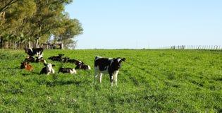 Скотины в paddock, стоковое фото rf