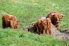 Скотины гористой местности - меховая корова стоковые фотографии rf