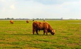 Скотины гористой местности пася в плоском сельском ландшафте в Netherl Стоковые Изображения