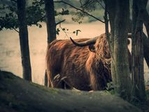 Скотины гористой местности Стоковое Изображение RF