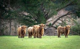 Скотины гористой местности стоковое фото