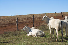 Скотины - группа в составе коровы на ферме Стоковая Фотография RF
