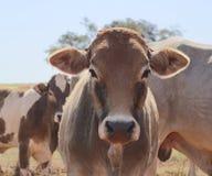 Скотины - группа в составе коровы на ферме Стоковые Фотографии RF