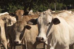 Скотины - группа в составе коровы на ферме Стоковые Изображения