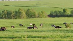 Скотины едят зеленую траву на луге коровы 4K видеоматериал