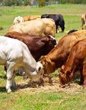 скотины икр говядины коричневые белые Стоковое Изображение RF