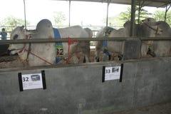 Скотины и клетки коров Стоковые Фотографии RF