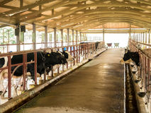 Скотины коровы молока в индустрии молока обрабатывают землю, Таиланд Стоковое Фото