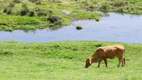 Скотины коровы Стоковая Фотография RF