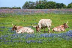 Скотины лонгхорна Техаса в выгоне bluebonnet Стоковые Изображения RF