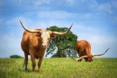 Скотины лонгхорна Техаса пася на выгоне весны Стоковая Фотография RF