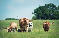 Скотины лонгхорна Техаса пася на выгоне весны Стоковые Изображения RF