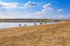 Скотины на береге реки стоковые изображения rf