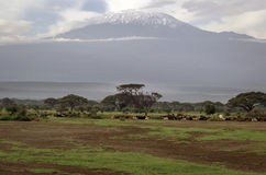 Скотины на выгоне и на заднем плане Килиманджаро в Кении Стоковая Фотография RF