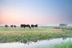 Скотины на выгоне на восходе солнца Стоковая Фотография