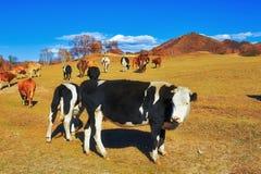Скотины на горном склоне Стоковое Фото