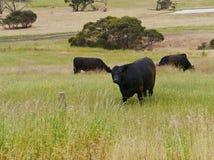 Скотины на полях Стоковое Изображение RF