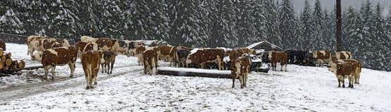 Скотины на снежном луге Стоковая Фотография
