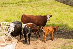 Скотины на ферме семьи Стоковые Изображения