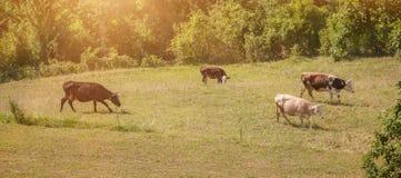 Скотины пасут в зеленом поле Стоковое фото RF