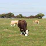 Скотины пася в поле на Ingleby Дербишире стоковое изображение rf