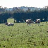 Скотины пася в поле на Ingleby Дербишире стоковая фотография rf